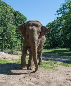NY Judge Grants Habeas Order for Bronx Zoo Elephant